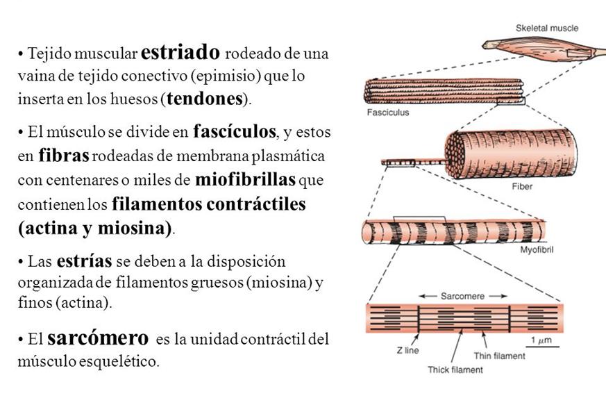 Curso: Curso de Anatomía Básica