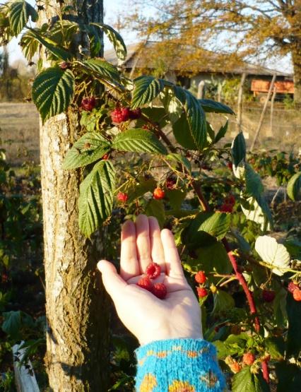 Curso para Plantacion de Frambuesas en el Jardin