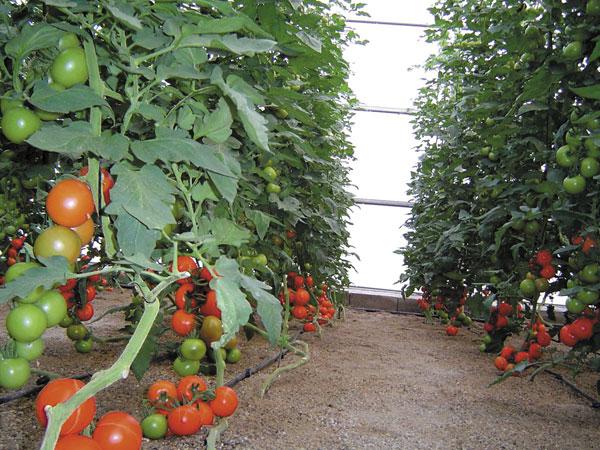 Curso Tomates en Invernadero
