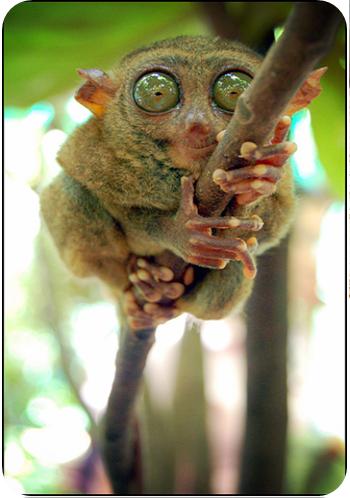 Curso animales exoticos Tarsius tarsier