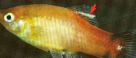 PEZ Crustaceo Lernaea o Gusano de Ancla
