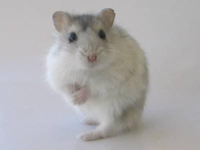 Curso crianza de hamster