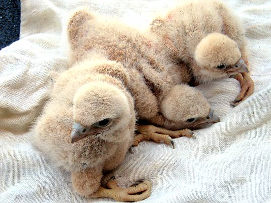 halcones pichones