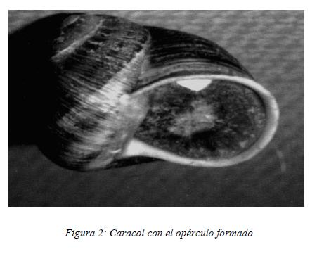 caracol-helix-aspersa
