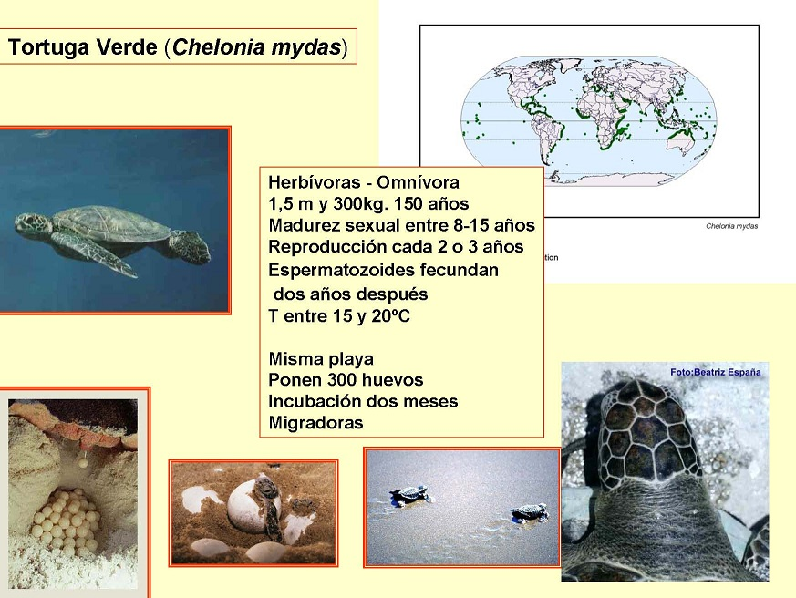 Tortuga Verde (Chelonia mydas)