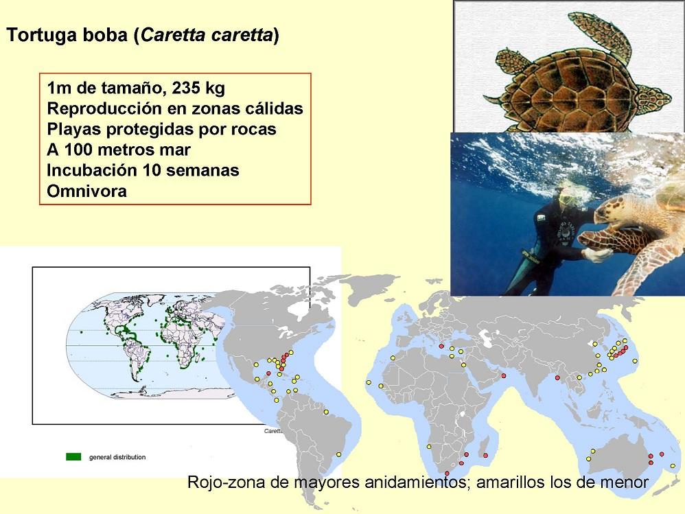 Tortuga boba (Carettacaretta)