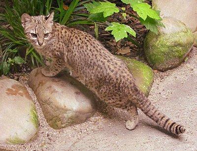 gato montes leopardus geoffoy
