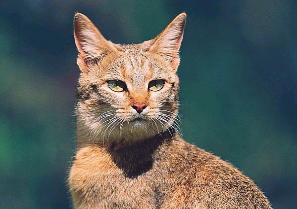 felis silvestre gatomontes euroasiatico